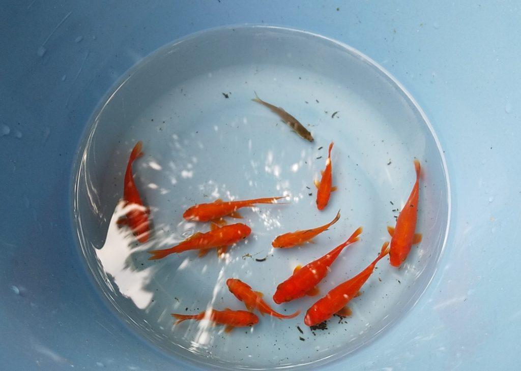 智光山金魚